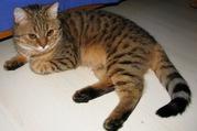 кошки редких пород калифорнийская сияющая