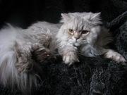 Британский кот.Вязка.Питомник британских кошек sunnybunny/by