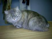 Найдена породистая кошка без хвоста