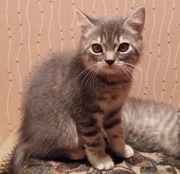 Британские котята - хороший подарок