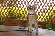 Абиссинский титулованный кот Интер Чемпион.Вязка.