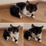 В добрые руки маленькая черно-белая котейка Муся ,  девочка,  1.5 месяца
