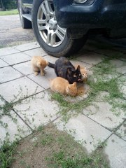 В районе центра появилась кошка с 3 рыжими котятами. Котята идут к рук