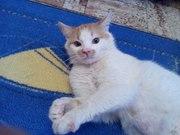 В ответственные руки очаровательный молоденький котик. Окрас рыже-белы