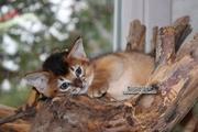 Абиссинские котята дикого окраса в Минске.