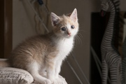 Друзья,  в дар котенок рыжий,  возраст 2 месяца,  ручной,  ласковый