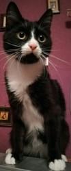 Феликс,  молодой,  ласковый,  игривый кот,  1, 5 года. Кастрирован,  от пара