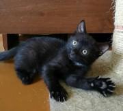 В ответственные руки черный котёнок. Девочка 2 месяца. Здорова,  активн