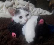 Двухцветные кошки (биколор): двойное сокровище.