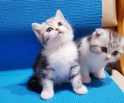 Пушистики) Шотландские котята)